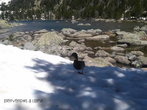 Pato en Lago Ratera